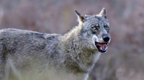 El espíritu indómito y agreste del lobo ibérico