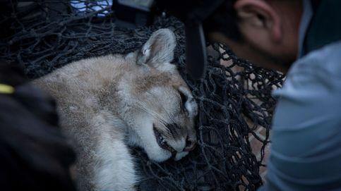 El rescate de un puma en un domicilio particular en Chile tras el toque de queda