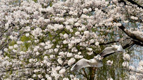 Los famosos cerezos de Japón florecen por sorpresa en otoño