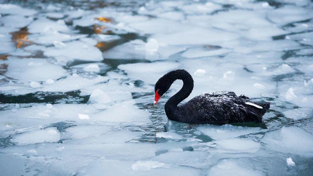 Foto: Un cisne negro, en una laguna helada. (Reuters)