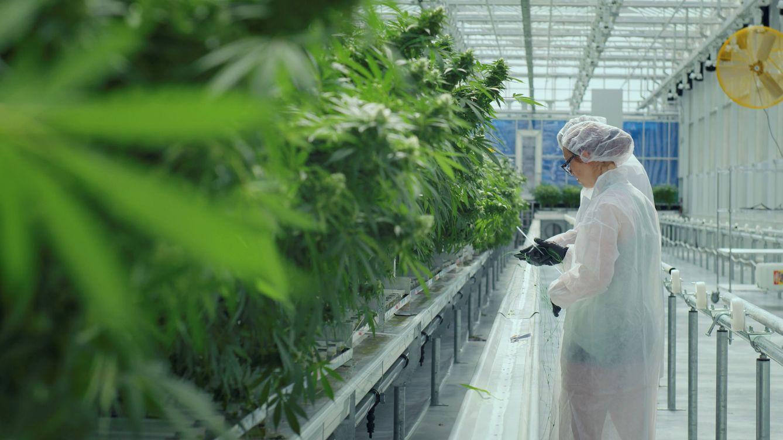 Unidas Podemos llevará la ley para regular el cannabis a la segunda mitad de la legislatura