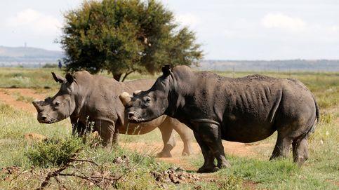 Rinocerontes negros, en peligro de extinción