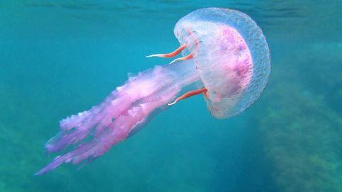 Las playas de Castellón, en alerta por una plaga de la segunda medusa más urticante