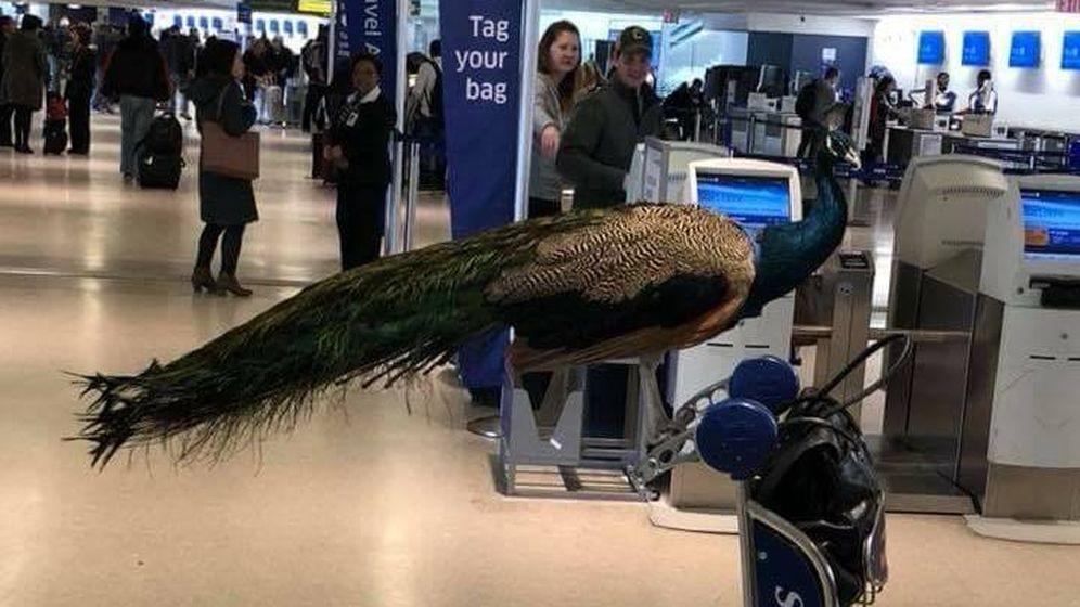 Foto: El pavo real hacía las veces de animal de soporte emocional, cargo que suele estar reservado a los perros (The Jet Set)