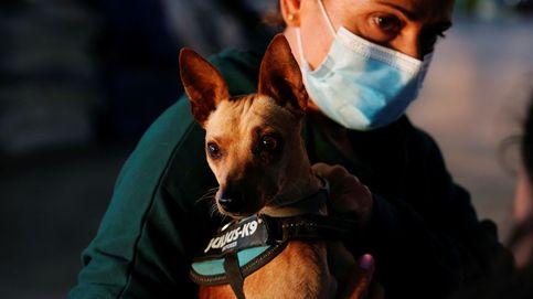 Así será el rescate a contrarreloj de los perros atrapados por el volcán de La Palma.