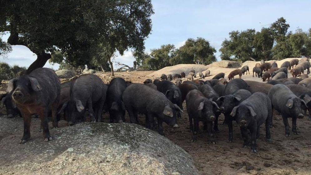 Foto: Cerdos ibéricos en una dehesa. (EC)