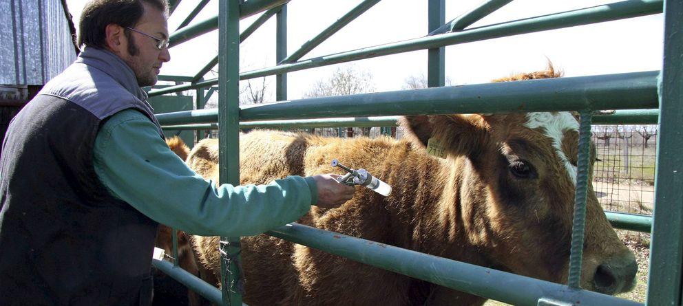 Foto: Un veterinario vacuna contra el serotipo 8 de la lengua azul a una vaca. (EFE)