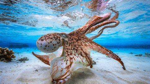 Los científicos alertan del peligro de la idea española de criar pulpos en piscifactorías
