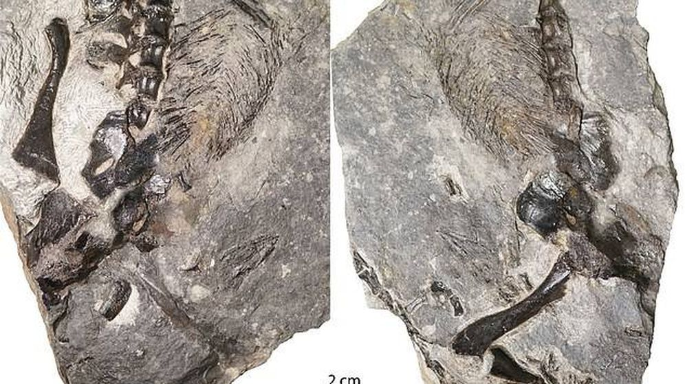 Foto: El fósil encontrado. (Hillary Maddin)