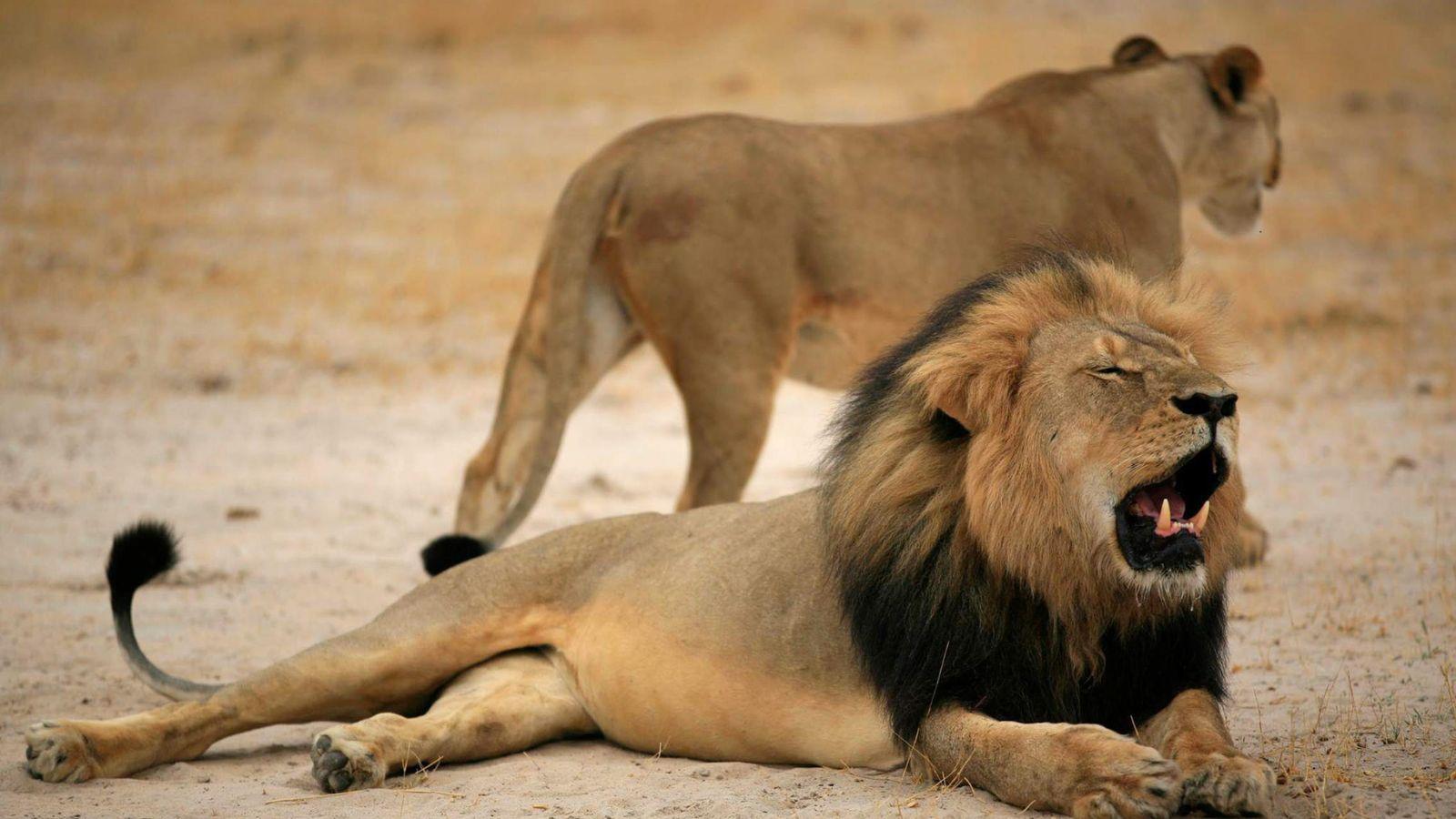 Foto: Cecil, tumbado en el suelo junto a una leona de su manada. (EFE)