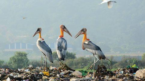 Marabúes sobre montañas de basura en India