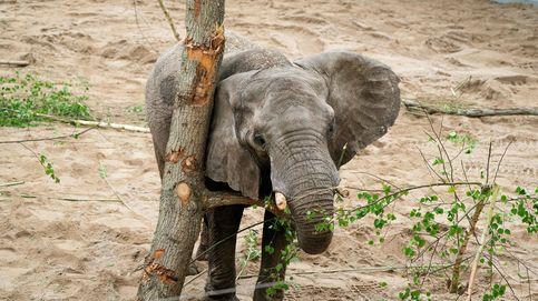 Sentencia para un cazador furtivo de elefantes en Congo: 30 años de cárcel