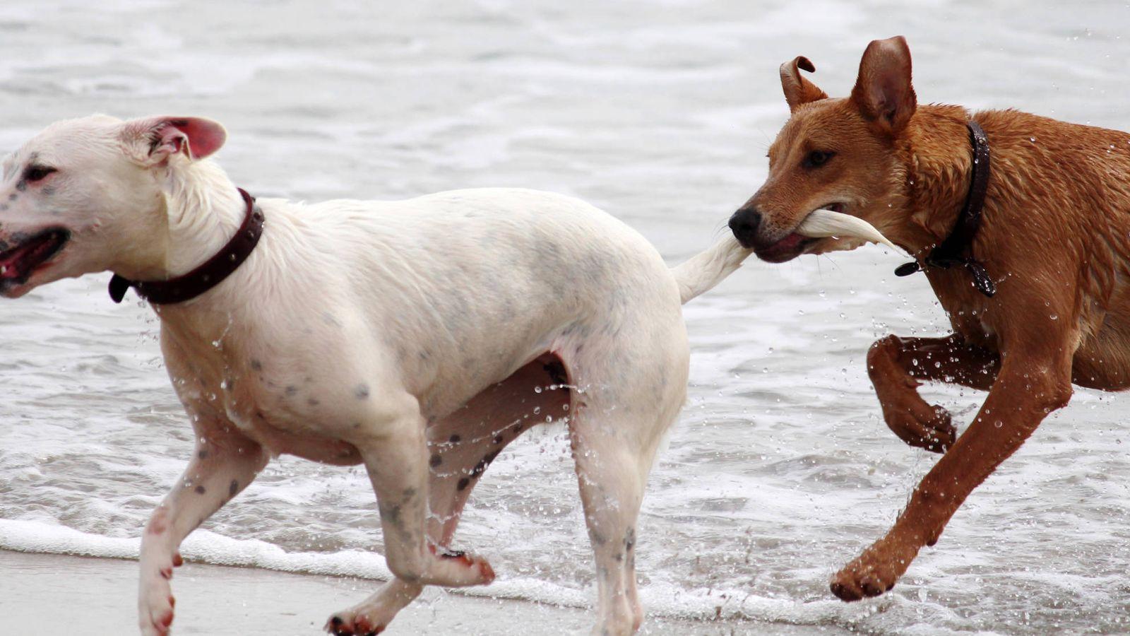 Foto: El Congreso ha pactado prohibir el corte del rabo de los perros por motivos estéticos (CC)