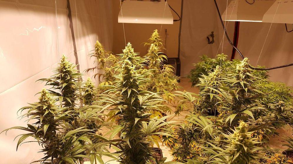 Foto: Desmantelan un cultivo con 5.375 plantaciones de marihuana en Albuñol. (Pixabay)