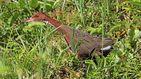 El ave que llevaba más de 100.000 años extinguida y 'volvió a la vida' en dos ocasiones