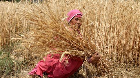 Recogida del trigo bajo el sol abrasdador