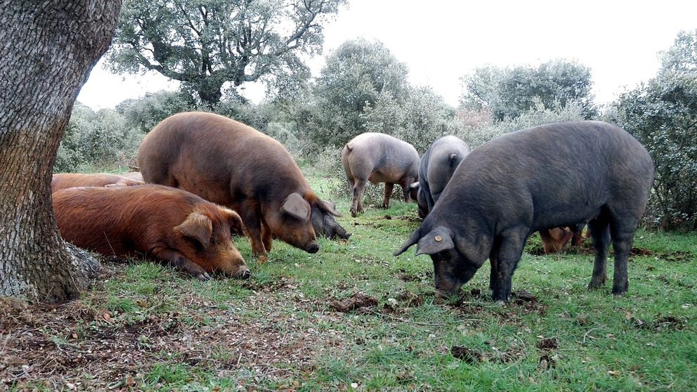 Estados Unidos ha empezado a 'robarnos' nuestro cerdo ibérico