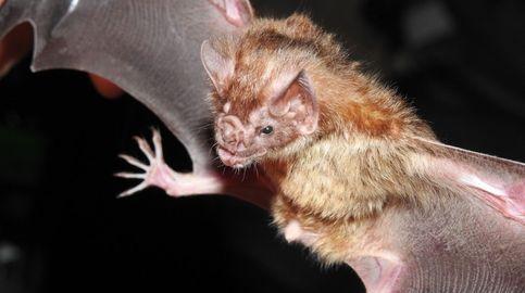 Nipah, 'otra' amenaza del murciélago: el virus que provocaría una pandemia peor