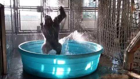 Este gorila baila a un ritmo imposible de imitar en la piscina