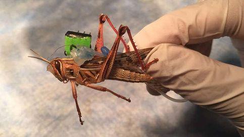 Desarrollan saltamontes cíborgs para detectar explosivos biológicos