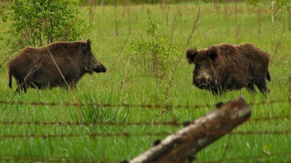España tiembla ante la peste porcina de los jabalíes importados: El sector peligra