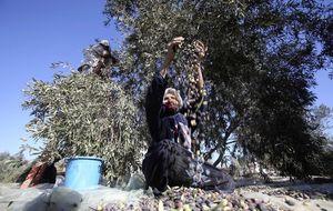 Cosecha de odio en los olivares palestinos