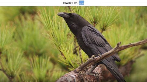 Los cuervos no simbolizan malos presagios, son inteligentes