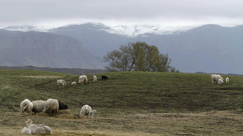 Foto: Ovejas en un prado del sudeste de Islandia. (Reuters)