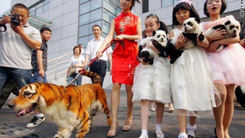 La última locura china: mascotas 'tuneadas' para que parezcan animales salvajes