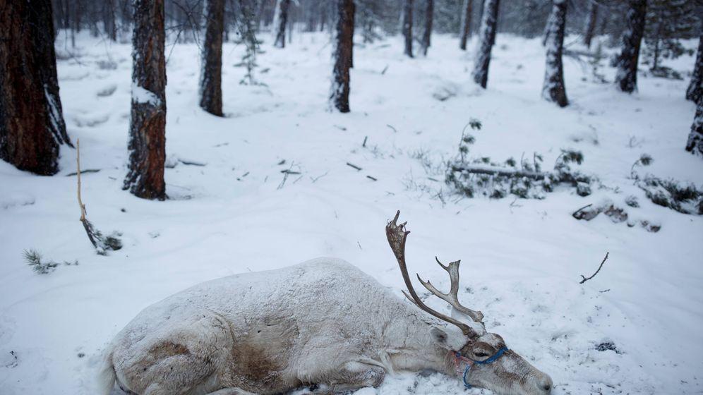 Foto: Los renos están muriendo de hambre al no tener qué comer (Reuters/Thomas Peter)