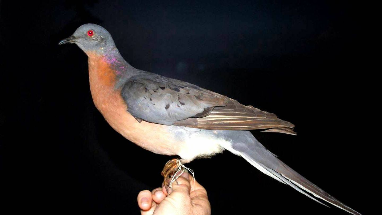 Ejemplar disecado de paloma migratoria. (NYS Museum)