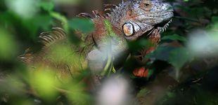 Post de Los meteorólogos avisan de una posible lluvia de iguanas en Florida