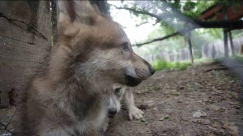 Dos cachorros de lobo canadiense, los nuevos protagonistas del zoológico de Monterrey