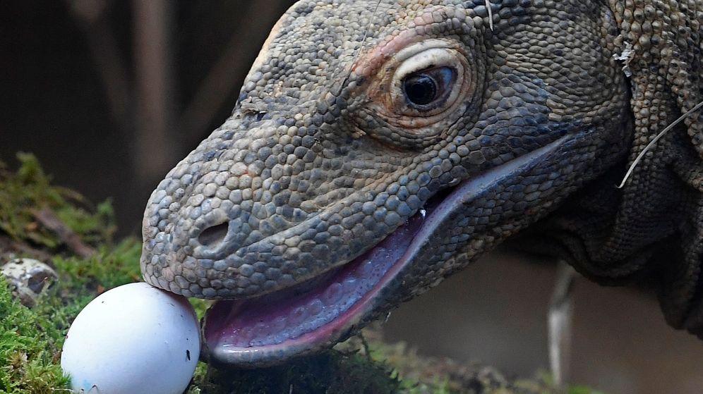 Foto: Un dragón de Komodo, a punto de comerse un huevo (Reuters/Toby Melville)