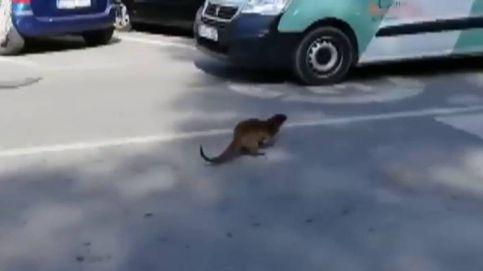 Una nutria se escapa del río Segura y corre por las calles de Murcia
