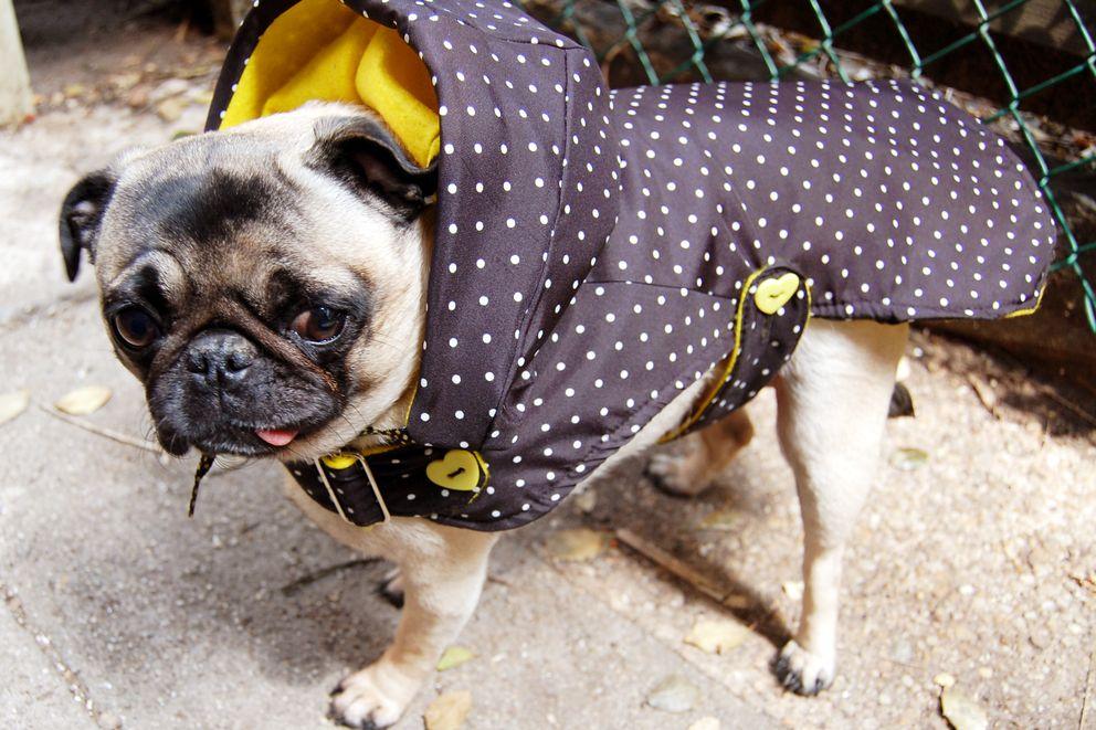 Foto: Por qué tu perro no agradece (en absoluto) que le pongas un abrigo