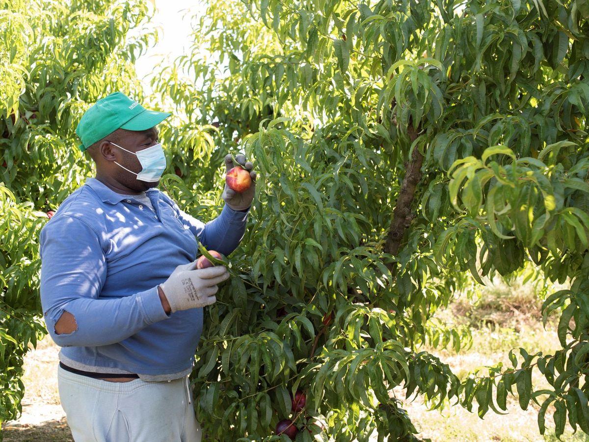 Foto: Un temporero de fruta trabaja en una finca de la localidad de Zaidín, Huesca. (EFE)