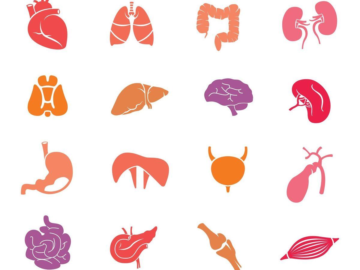 Cuántos órganos Tiene El Cuerpo Humano En Realidad