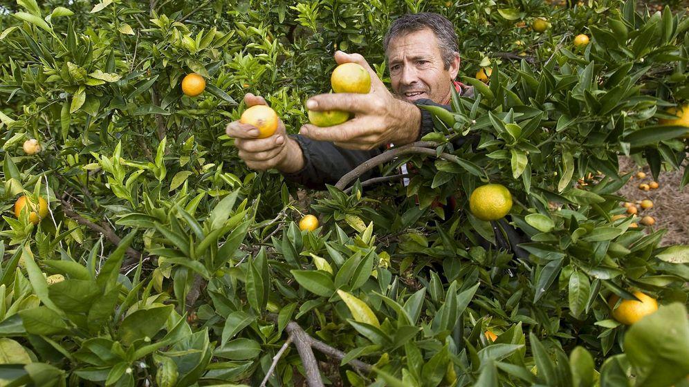 Foto: Un recolector de naranjas en un campo valenciano. (EFE)