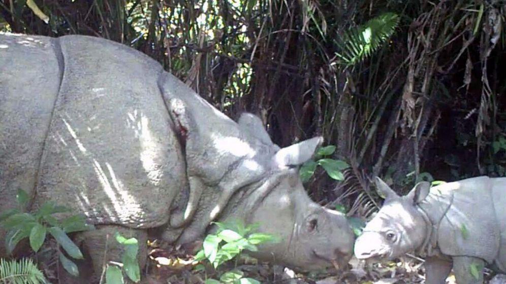 Foto: Un rinoceronte de Java con una cría en el Ujung Kulon (Ministerio Medioambiente Indonesia)