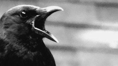 Los cuervos hacen gala de autocontrol (son más listos de lo que tú te crees)