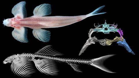 Investigadores encuentran hasta 11 especies de peces que caminaban por la tierra