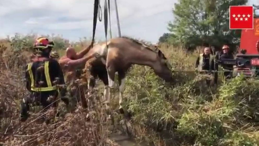 Los bomberos logran rescatar a un caballo que había caído en una acequia en Madrid