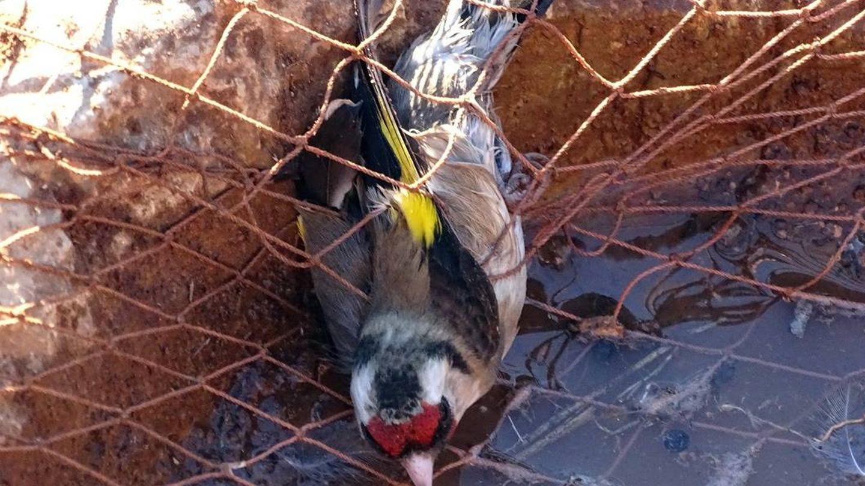Un jilguero capturado.
