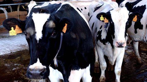 El misterioso caso de las vacas envenenadas en Galicia