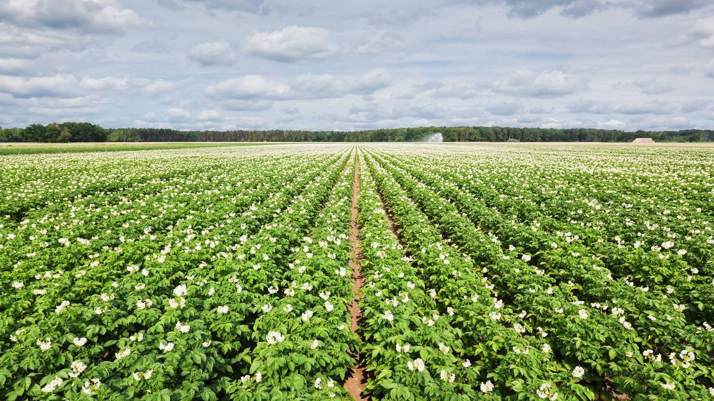 Monocultivo de plantas de patata. (iStock)