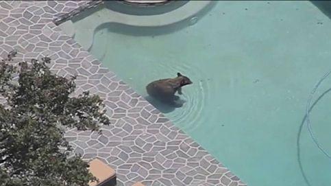 Un oso se cuela en una piscina particular para combatir el calor