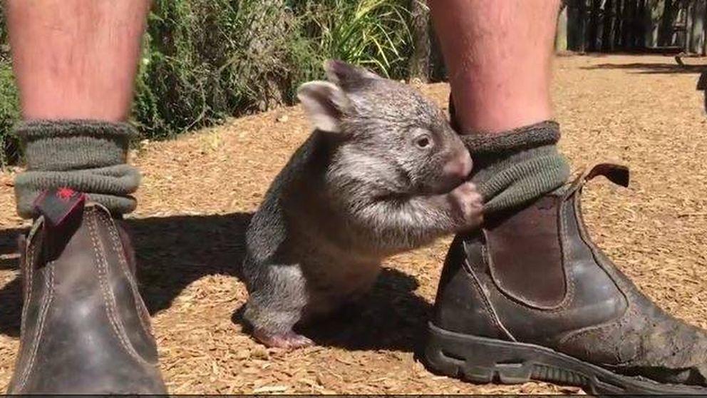 Un Wombat muy juguetón: así se las gasta el pequeño George