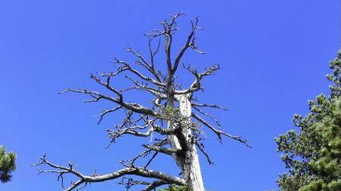 Científicos italianos descubren a 'Italus', el árbol más 'viejo' de Europa con 1.230 años de antigüedad