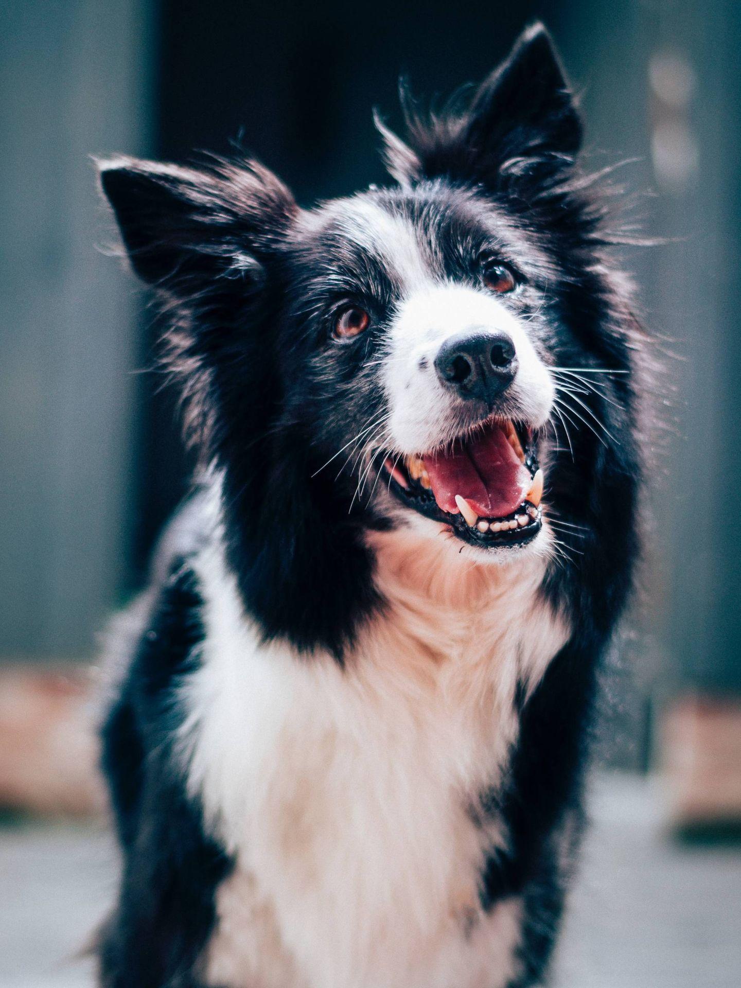 Hay que adaptar la dieta BARF a las necesidades de cada perro. (Baptist Standaert para Unsplash)